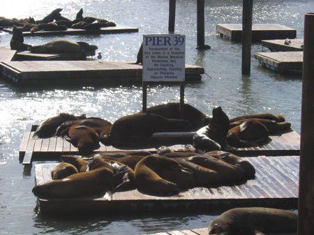 Leones marinos en el Pier 39
