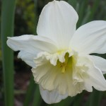 daffodils (SF)