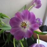 tulipán espaturrado at Pat's (SF)
